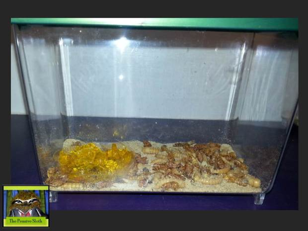 Here's a view from the front of the pupa and larva.  Darkling beetles will emerge soon...